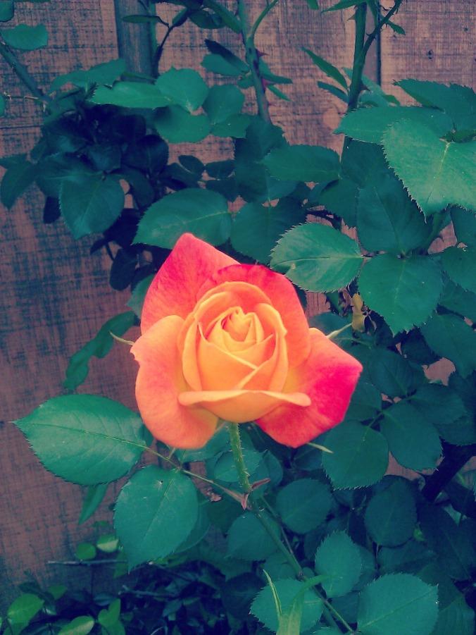 rosefoura