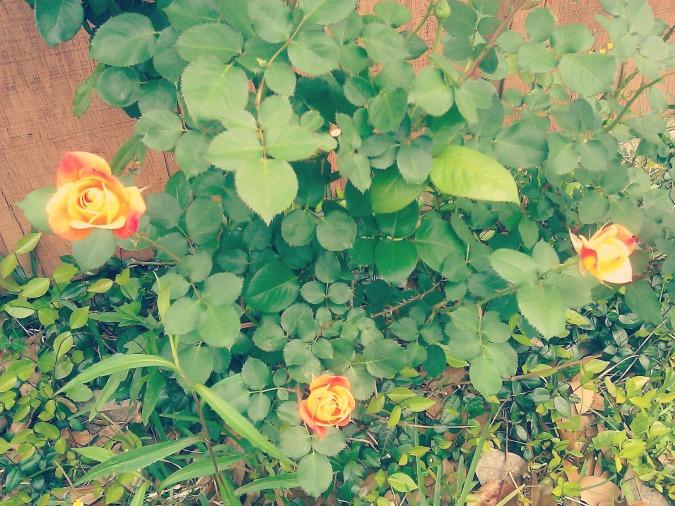 rosethreea
